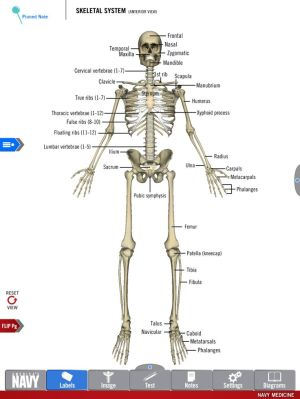 Diagram of the Skeletal System from the free Anatomy Study
