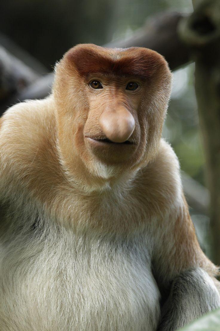 The rare proboscis monkey, native to the Island of Borneo