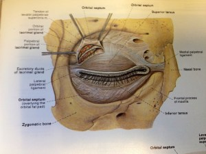 Orbital septum | Facial Anatomy | Pinterest | Septum