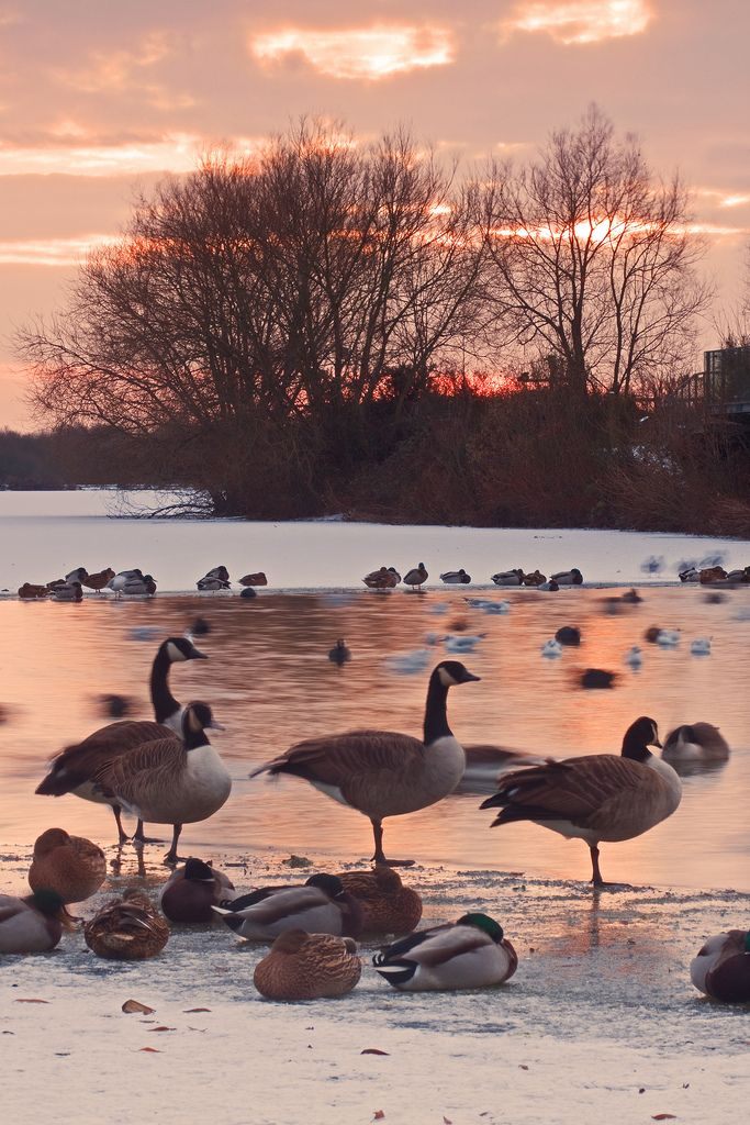 Sunset and Wild Geese In Winter, Attenborough Nature