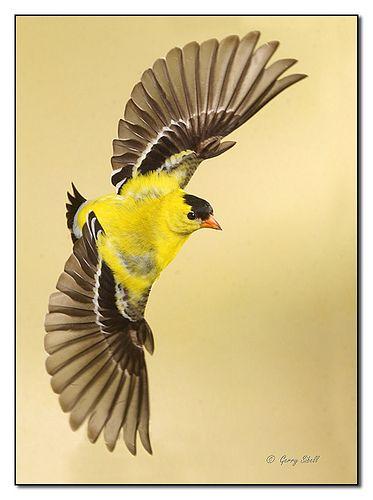 American Goldfinch In Flight Flickr Photo Sharing