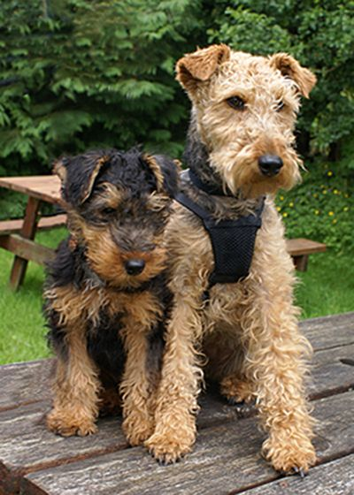 1000 Ideas About Welsh Terrier On Pinterest Terriers