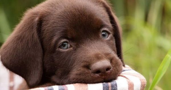 17 Best Ideas About Chocolate Labs For Sale On Pinterest