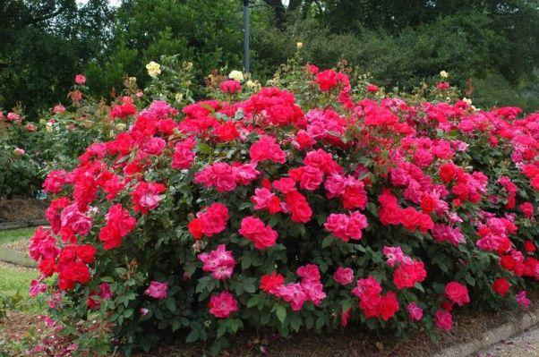 Tutte le varietà di rose necessitano di un'irrigazione costante, tra la primavera e l'autunno, ma mai abbondante