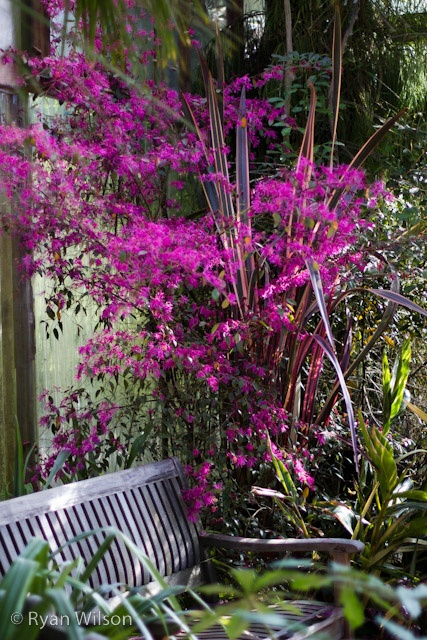 Loropetalum Chinense Pipas Redchinese Fringe Flower A Particularly Popular Fringe Flower And