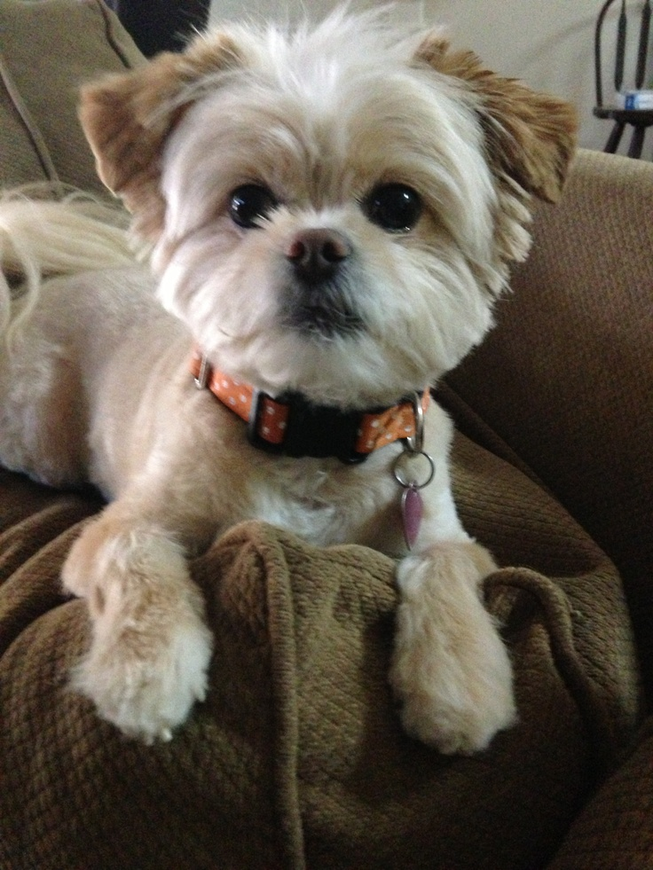 Peekapoo Cute Haircut For Lucy Puppy Pinterest