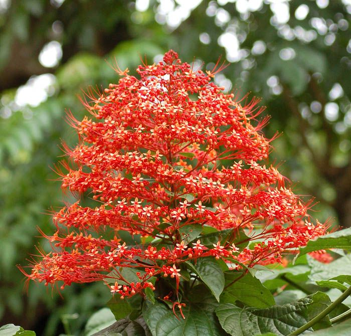 Pagoda flower, Hanuman Kireetam. Scientific Name