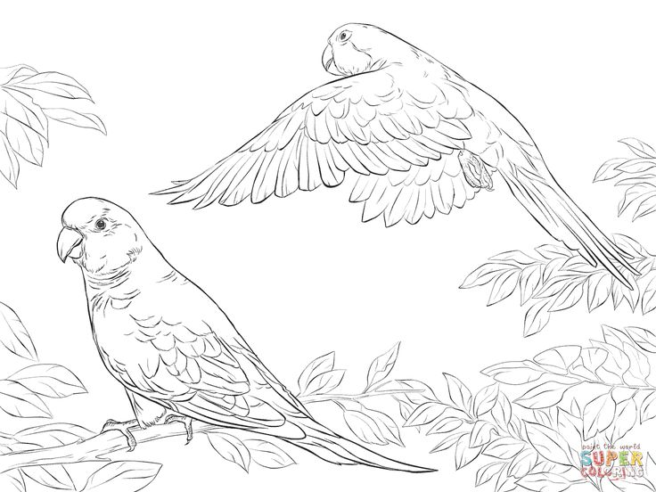 1000 images about parrot coloring pages on pinterest