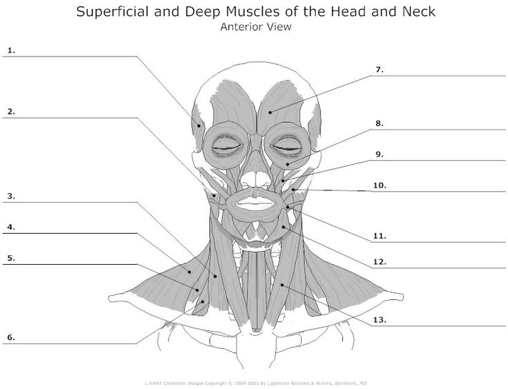 Muscles Of The Head And Neck Unlabeled Anatomy
