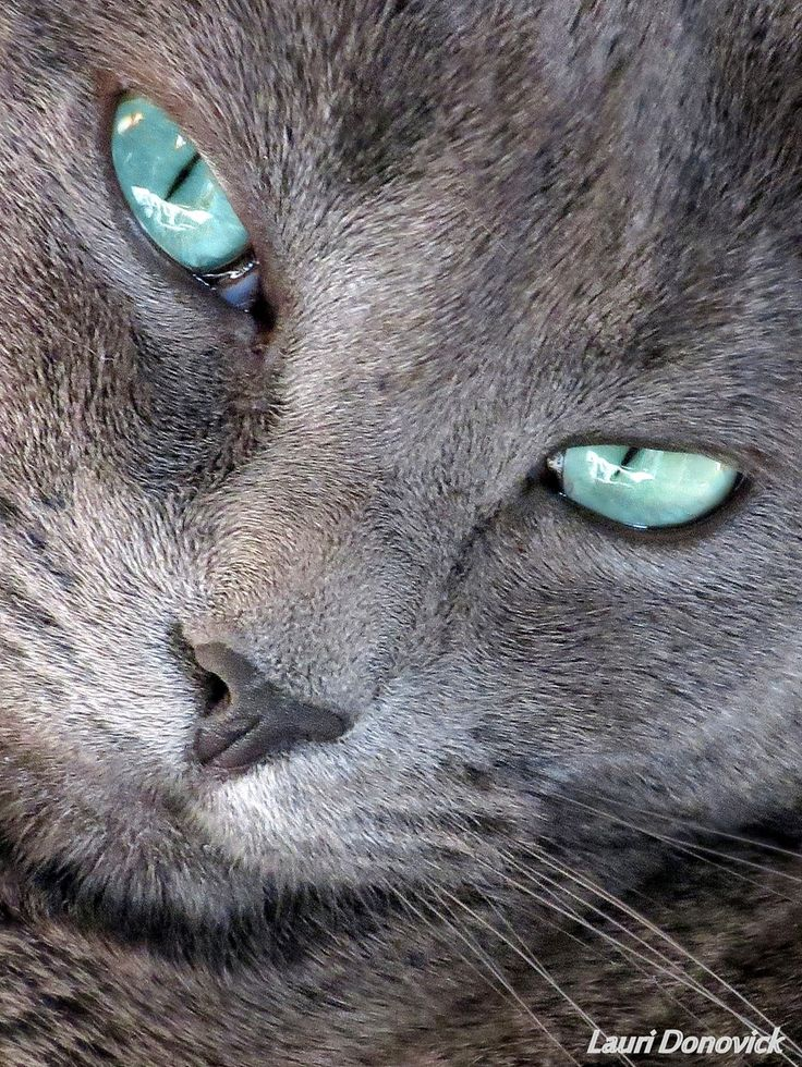 MOONBEAM Love Russian Blue's they have the most
