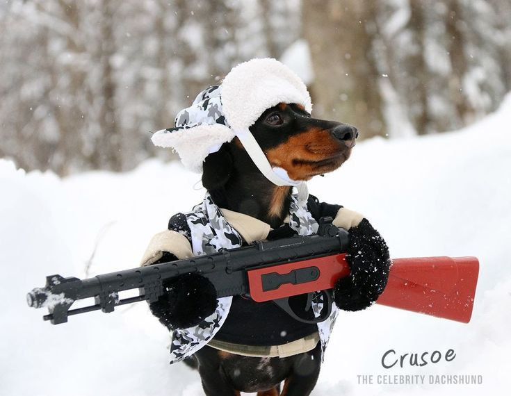 17 Best Images About Crusoe On Pinterest Dachshund