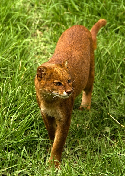 Yaguarundí (Jaguarundi) (Puma yagouaroundi), spotted by