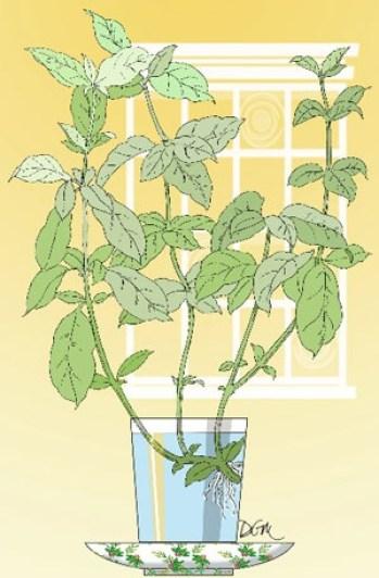 coltivare la menta piperita in vaso