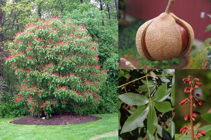 Ornamental Trees Red Buckeye Aesculus Pavia Is A Small North American Native Tree Most