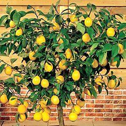 How To Grow A Dwarf Lemon T