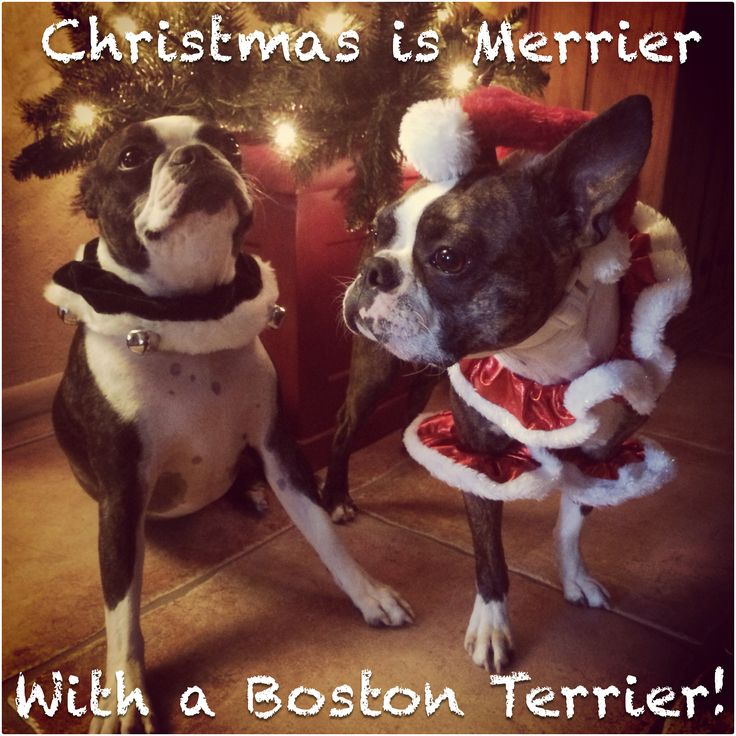 60 Best Boston Terrier Memes Dogs And Puppies Too