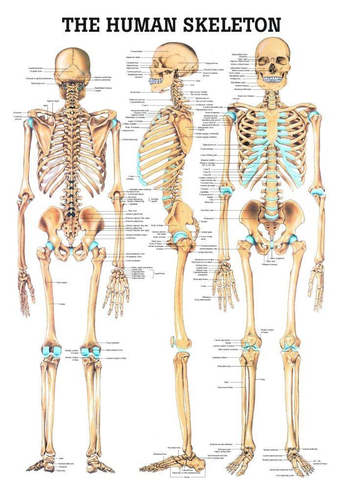 The Human Skeleton Laminated Anatomy Chart Charts