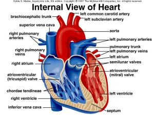 Anatomy of cardiovascular | General Knowledge of Anatomy