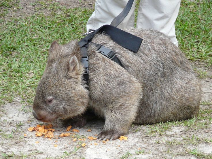 this wombat is on a leash, WHICH MEANS I CAN HAVE ONE FOR