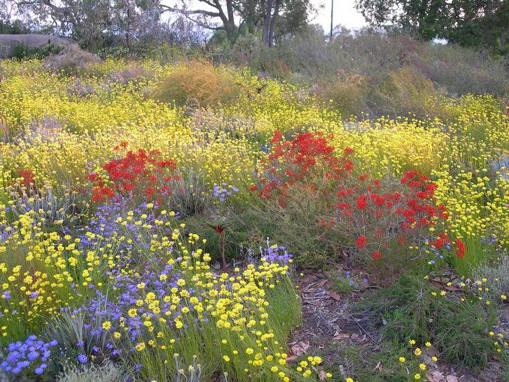 western australian wildflowers desert blush