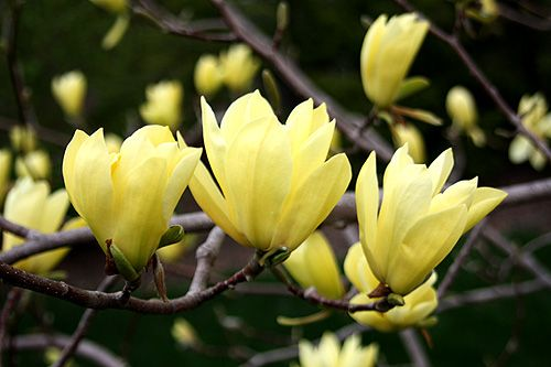 1000 Ideas About Magnolia Trees On Pinterest Sassafras