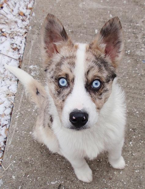 Husky/Australian Shepherd Mix Puppies Pinterest