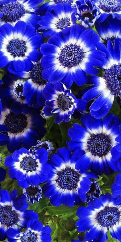 Flores azuis!: