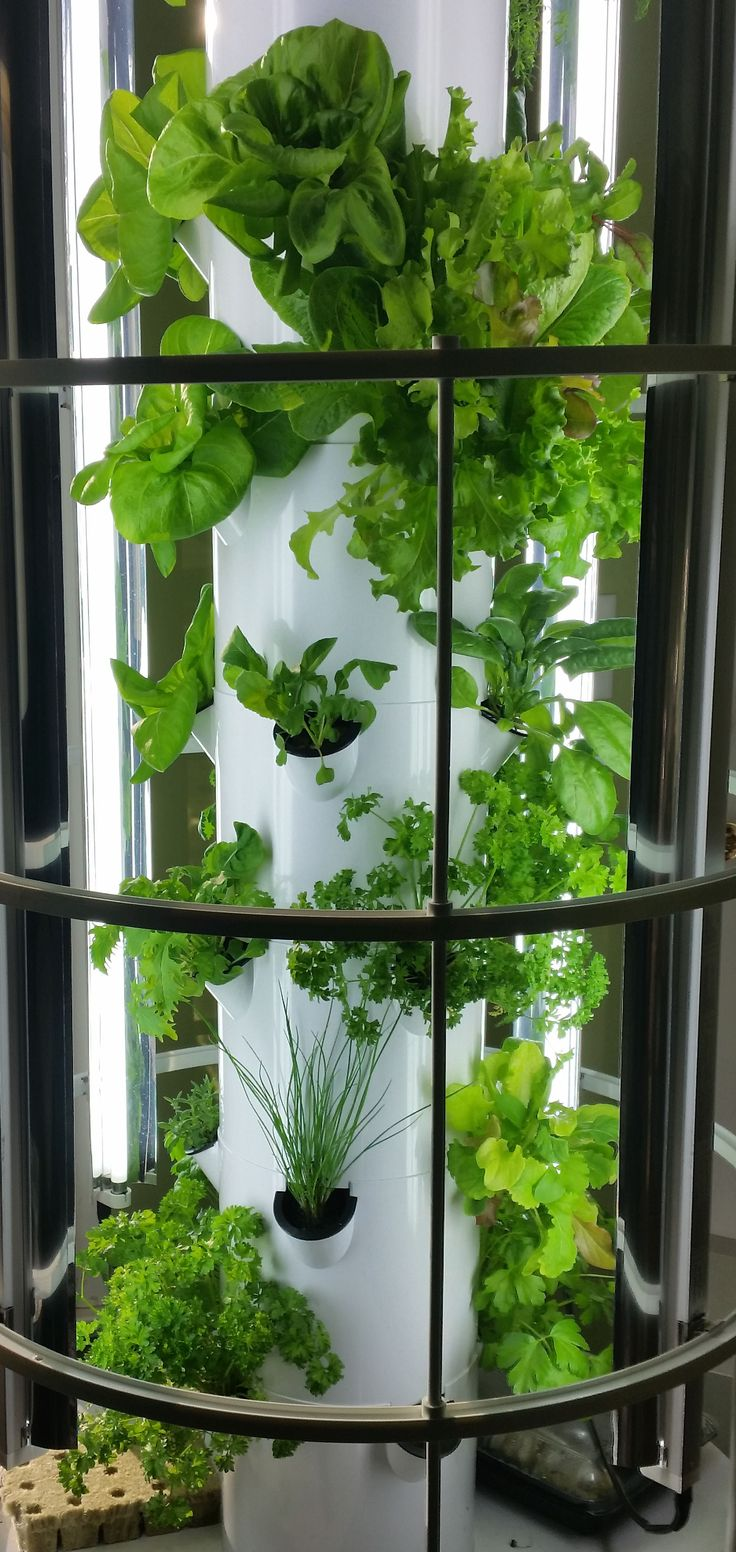 Tower Garden Leafy Greens Grown indoors in the