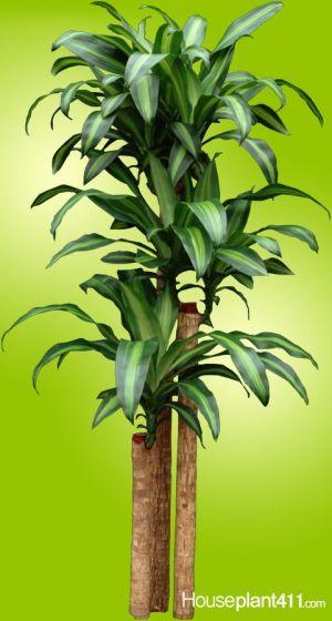 Learn how to prune a dracaena corn plant: https:wwwhouseplant411houseplantdracaenacorn