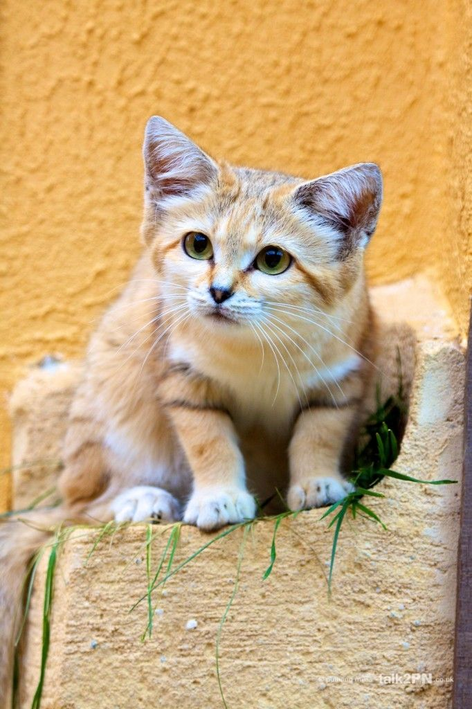 Desert Sand Cat The Cutes Pinterest Cats, Sands and