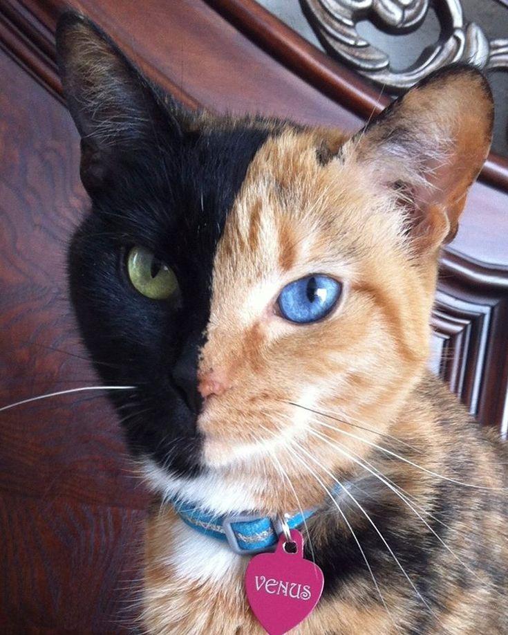 Amazing Chimera cat Cats! Pinterest Beautiful