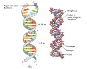 The structure of doublestranded DNA is shown in two ways