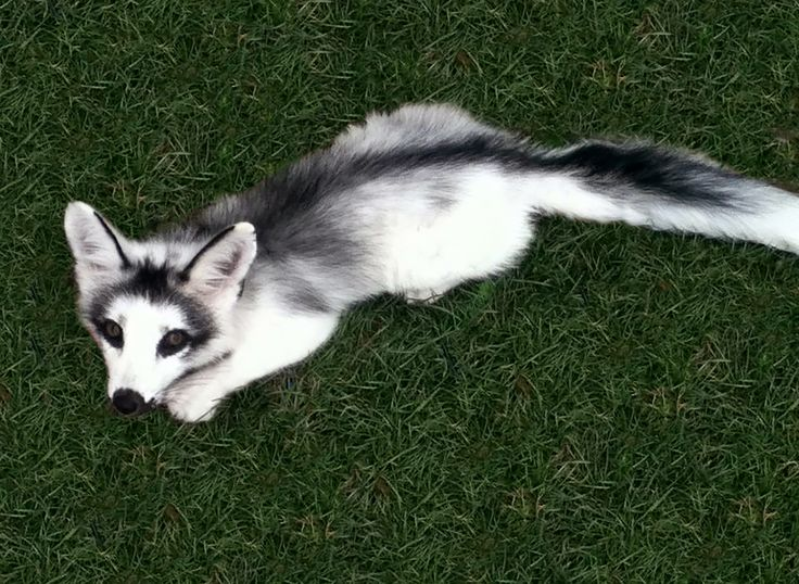 """The """"arctic marble fox,"""" also a member of the red fox species, is not a naturally occurring coloration – it was bred for its"""