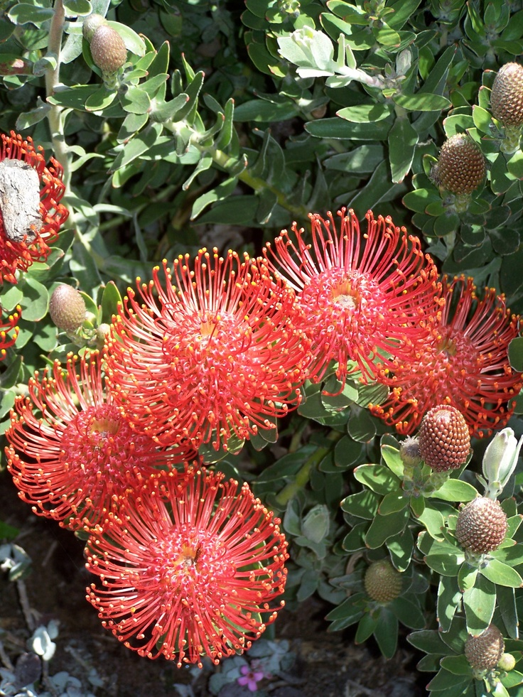 Protea flowers Flowers and Foliage Pinterest Pink