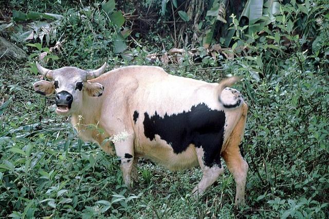 Mithun/domesticated Gaur x domestic cattle hybrid