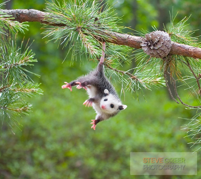 Baby Opossum, Pine Barrens, New Jersey Opossums