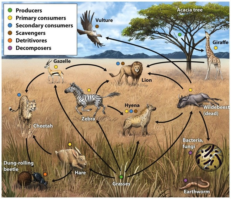 Food webs are more realistic representations of trophic