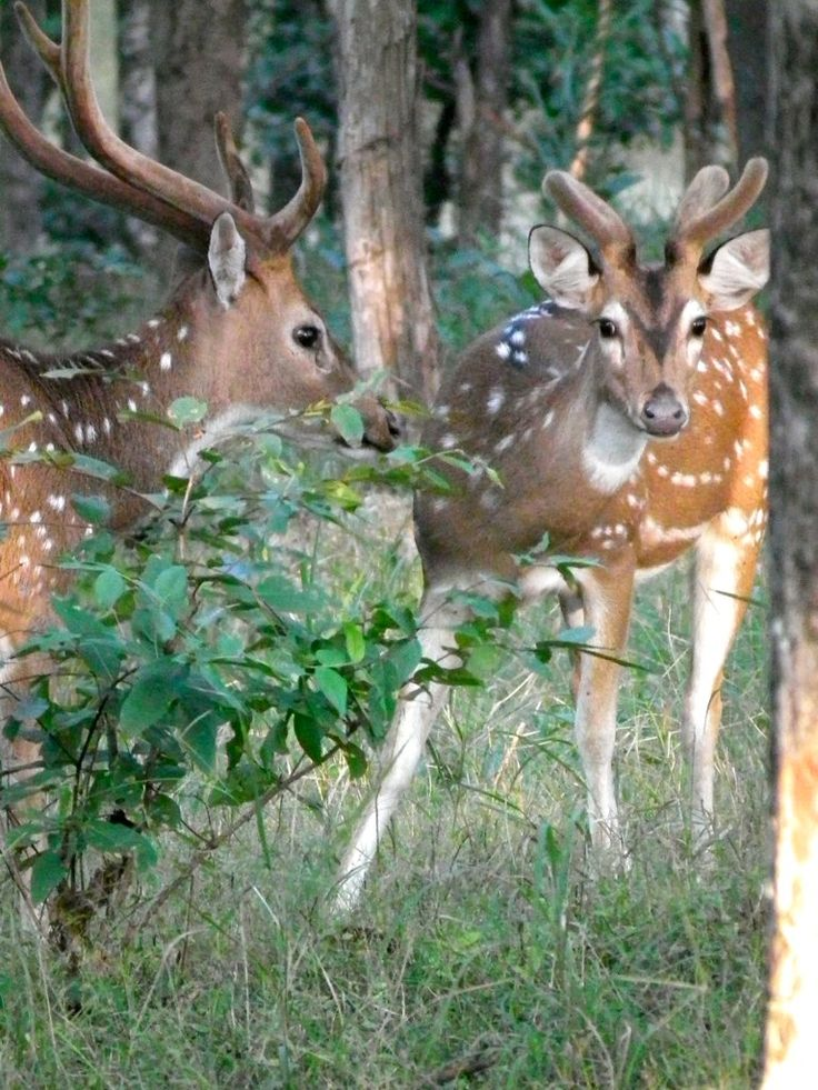 Two 'Chital' Spotted Deer [ Axis axis ] stags from India