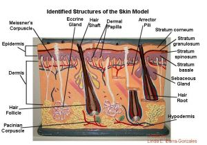Skin Gland |  model of skin and identify the structures associated with the skin | A&P1