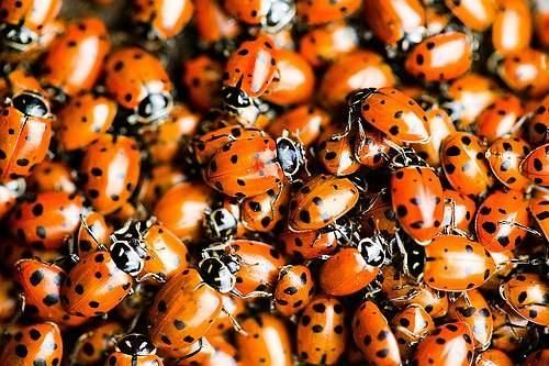 How To Start a Ladybug Garden! The benefits of having ladybugs in your garden include being able to cut back on pesticides and