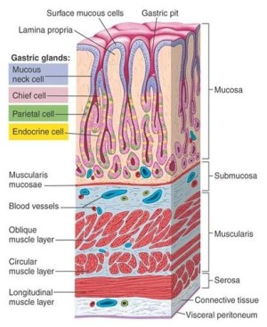 Stomach Lining | CodingAnatomyPhysiology | Pinterest | Gastroenterology, Anatomy and The o'jays
