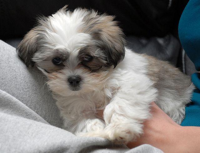 Maltese Shitzu My Doggy Ill Hopefully Be Adopting Soon