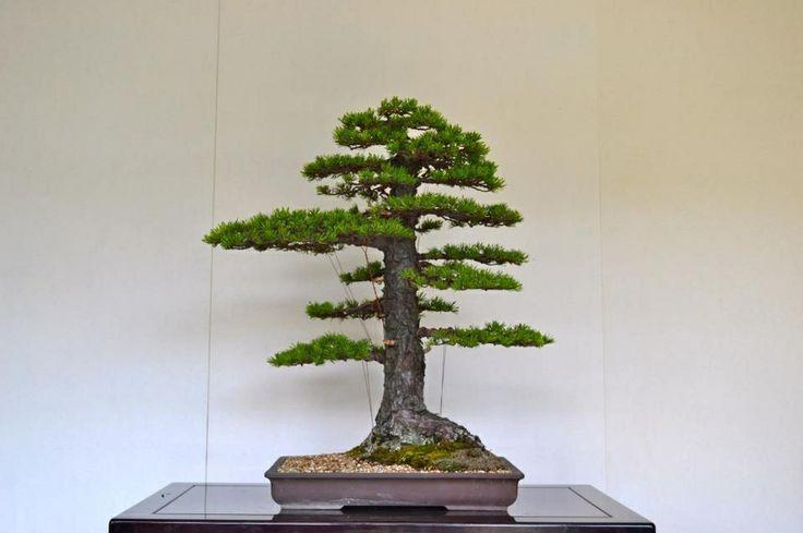 Pine Bonsai Formal Upright Style Chokkan Bonsai