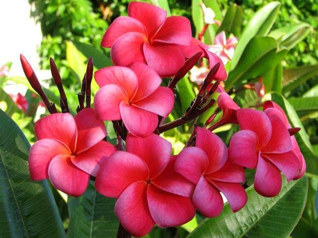 the champa flower is the Indian Magnolia, and not plumeria