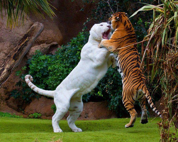 white liger Liger vs tiger, fight! [Amazing Photo of the