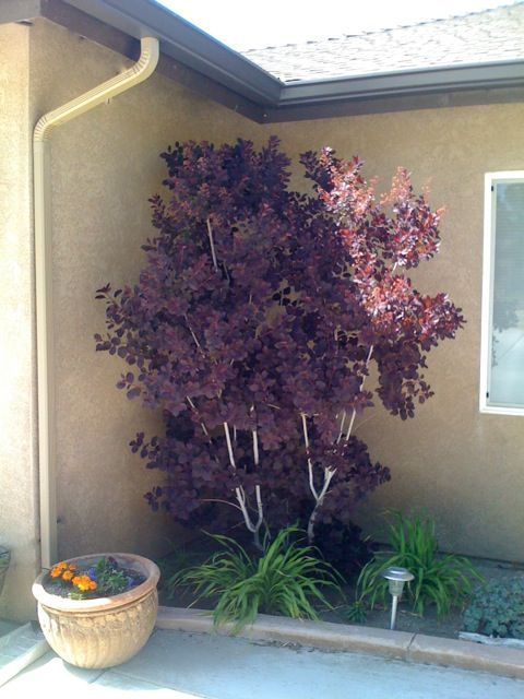 Smoke bush ~ drought tolerant, reddish purple in spring, deepening to a rich, deep purple in summer, changing to a flaming
