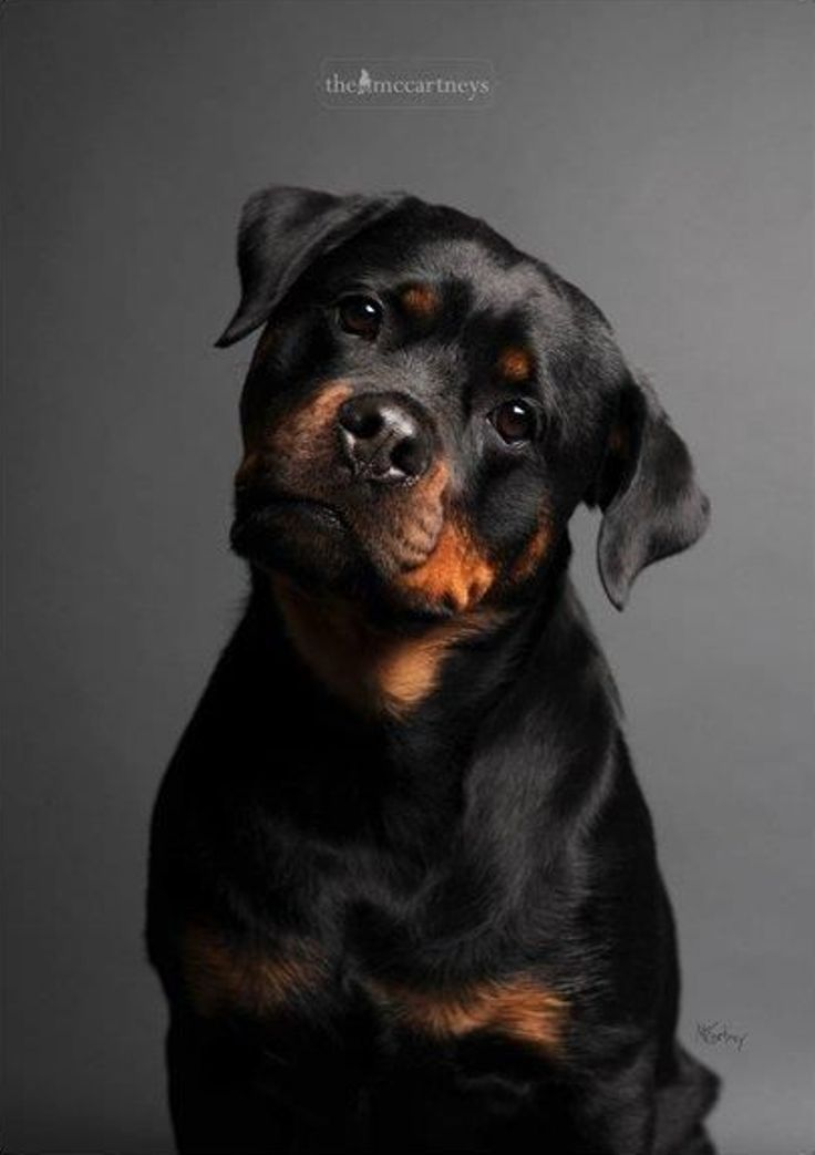Top 10 Most Expensive Dog Breeds Rottweilers are as multi-talented as they are robust and powerful. The intelligent, patient breed