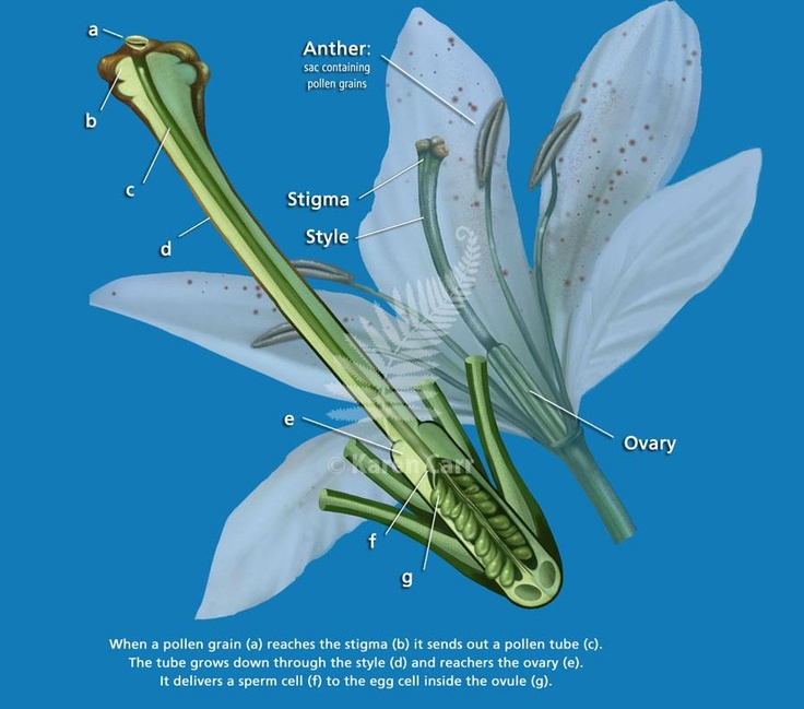 The pollen tube grows down the stigma to the ovary. Then