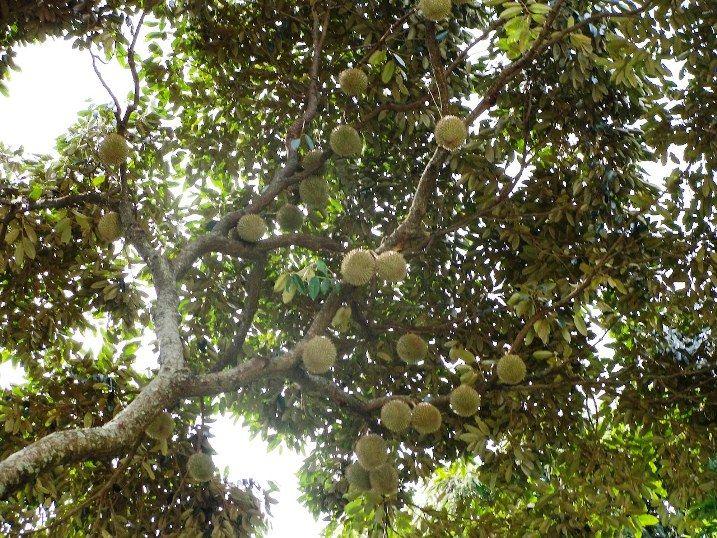 durian tree Sri Lankaweek 3 Pinterest Trees