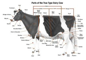 Parts of a Dairy Cow | Agriculture Ed | Pinterest | The o
